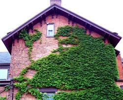 climbing-ivy